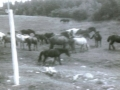 horses in Hatchet cove