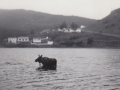 Moose crossing the pond, Hodge's Cove 1960's 001