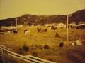 horses roaming Hodge's Cove