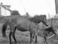 Pet and her foal owned by Solomon Strowbridge Butter Cove