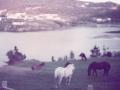Horses Hodges Cove Sept 1984 Thomas garden