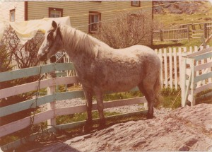 The Forgotten Ponies of Southwest Arm Region