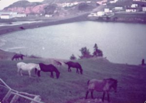 horses-hodges-cove-sept-1984